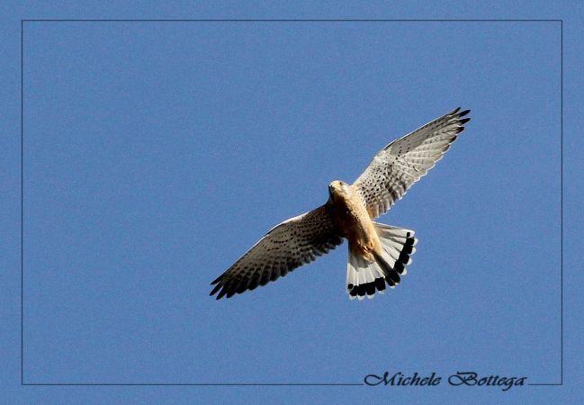 Faucon crécerelle  - Michele Bottega
