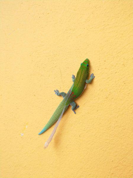 Gecko vert à trois taches rouges