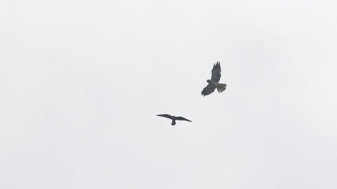 Faucon concolore  - Gentelet Eric