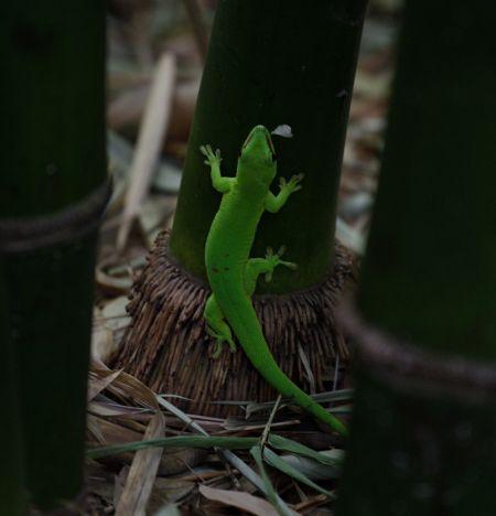 Gecko vert à points rouges  - Michel Yerokine