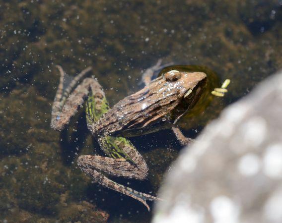 Amphibien indéterminé  - Michel Yerokine