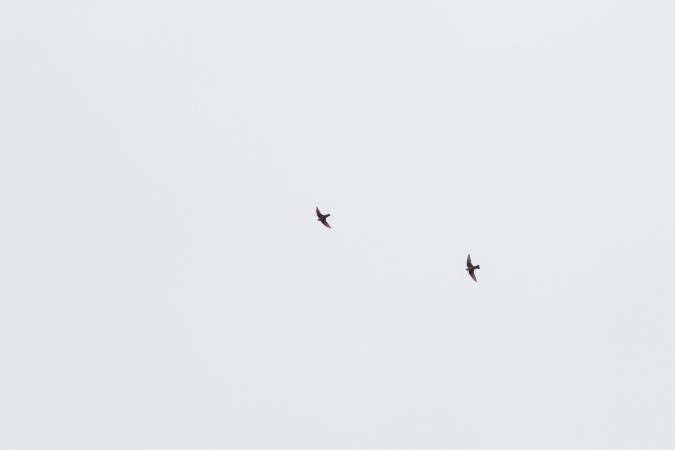 Hirondelle de rochers  - Gilles Corsand