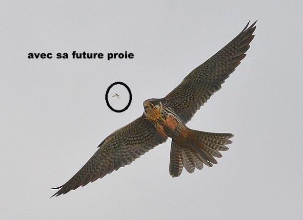 Faucon hobereau  - Jean-Marie Nicolas