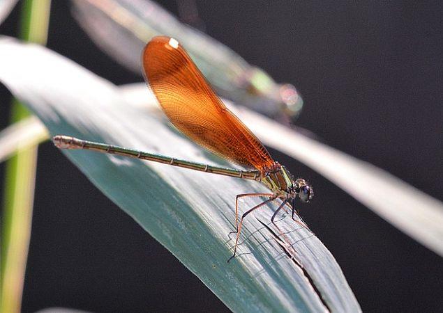 Caloptéryx hémorroïdal  - Jean-Marie Nicolas