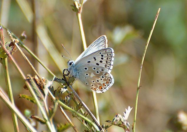 Bleu-nacré (Argus bleu-nacré)  - Jean-Marie Nicolas