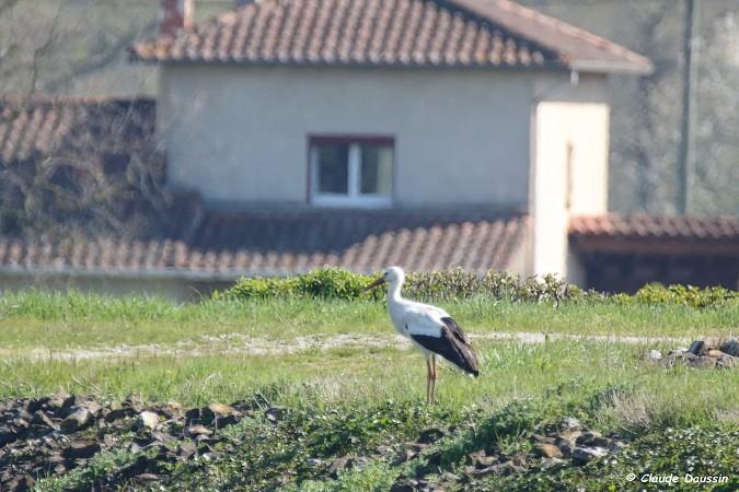 Cigogne blanche  - Claude Daussin