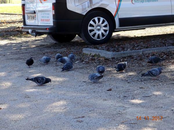 Pigeon biset domestique  - Jean-Christophe Boisguerin