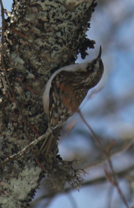 Grimpereau des bois  - Benjamin Long