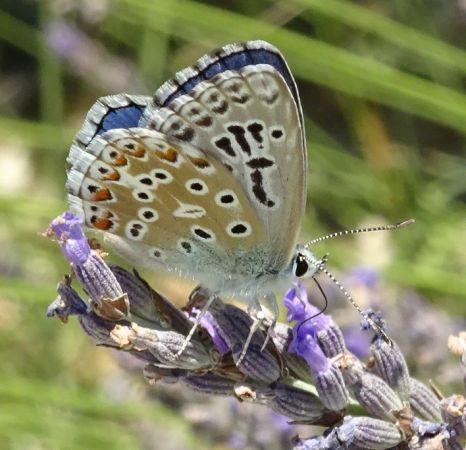 Argus (Azuré) bleu céleste  - Catherine Michels