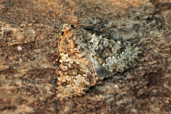 Hecatera dysodea  - Jean-Marc Cugnasse
