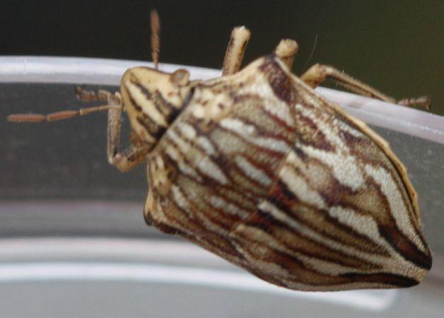 Odontotarsus robustus  - Rodolphe Liozon