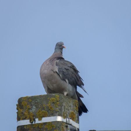 Pigeon ramier  - Lorraine Lambrechts