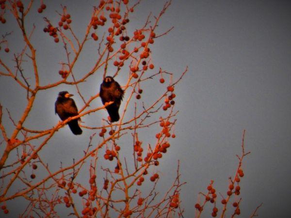 Corbeau freux  - Stéphanie Desternes