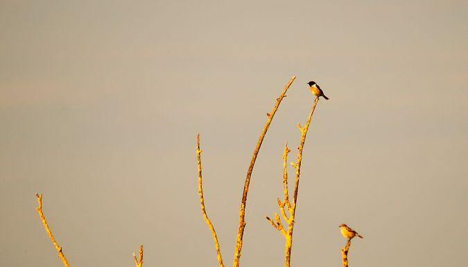Tarier pâtre  - Eric Carreau