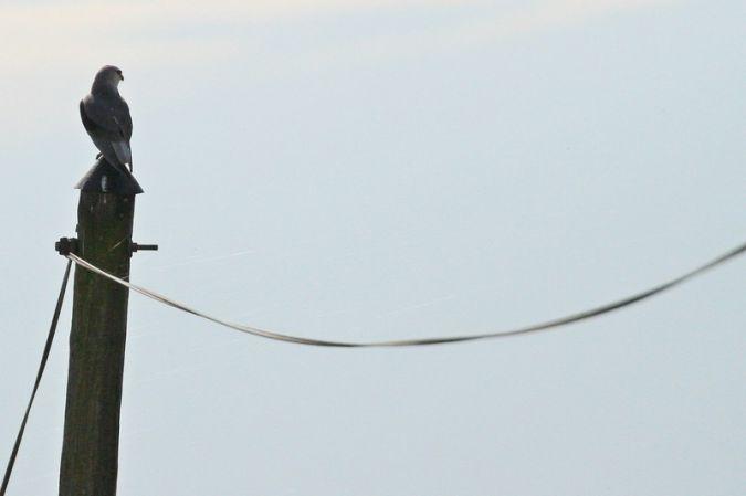 Élanion blanc  - Regis Perdriat