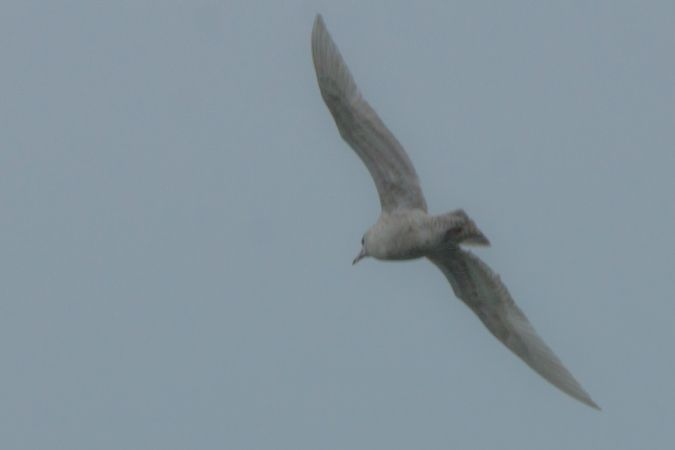 Goéland à ailes blanches  - Dominique Robard