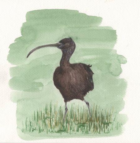 Ibis falcinelle  - James Pelloquin