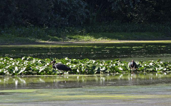 Cigogne noire  - Jacques Herbette