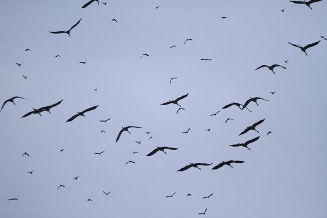 Pigeon ramier  - Éric Michel