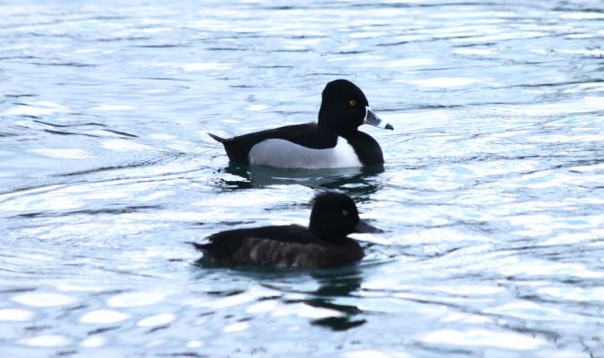 Ring-necked Duck  - Romain Buenadicha