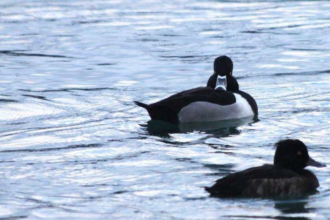 Ring-necked Duck  - Romain Buenadicha