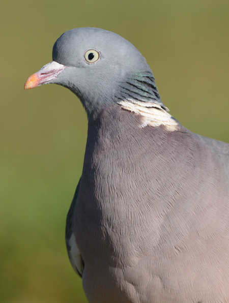 Pigeon ramier  - Christiane Anderson
