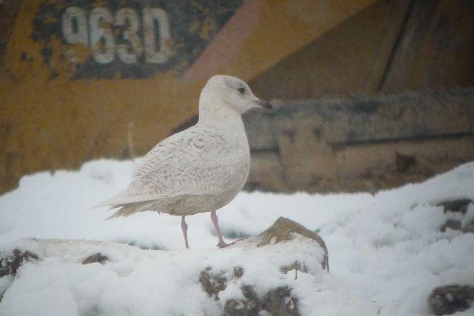 Goéland à ailes blanches  - Christophe Lartigau