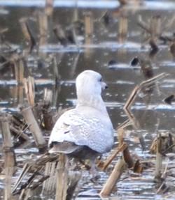 Goéland à ailes blanches  - Jean-François Quété