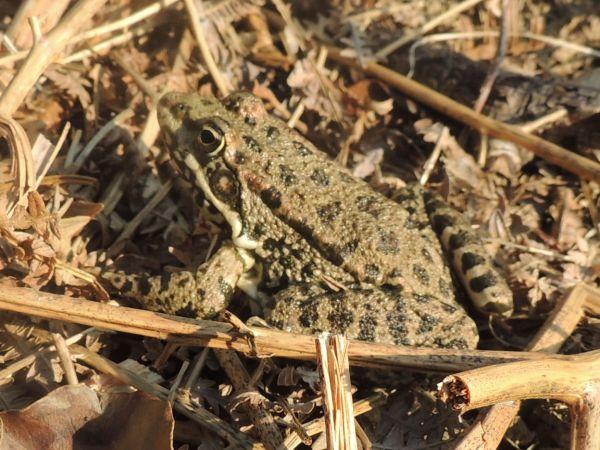 Grenouille brune indéterminée (Rana sp.)  - Claude Souchard