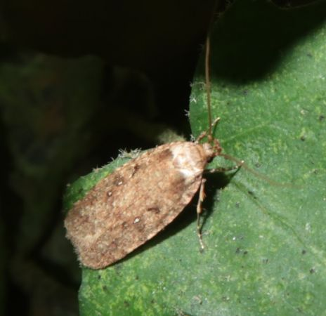Agonopterix heracliana  - Guy-Noël You