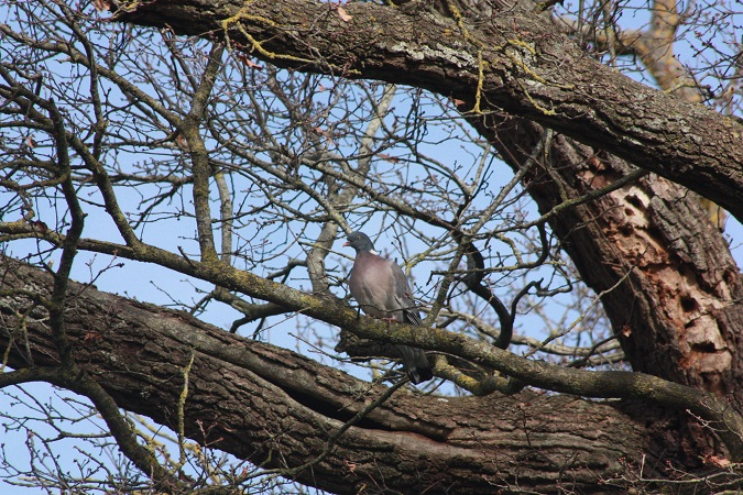 Pigeon ramier  - Andre Jourdain