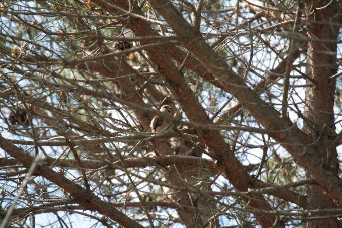 Hawfinch  - Pep Sopena