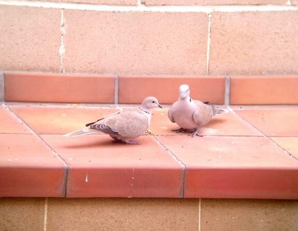 Eurasian Collared Dove  - Abel Julien