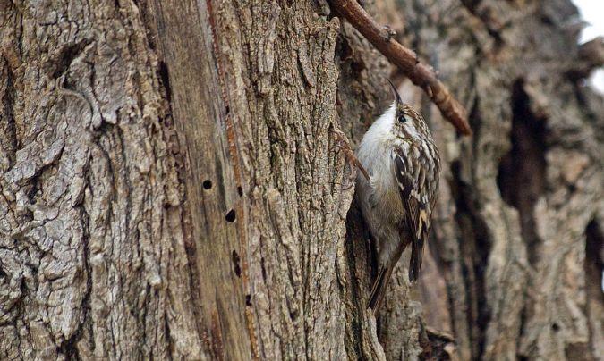 Short-toed Treecreeper  - Andreu Iglesias