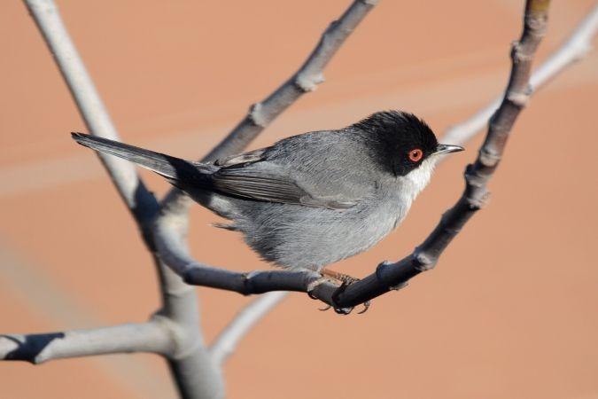 Sardinian Warbler  - Jaume Font Martí