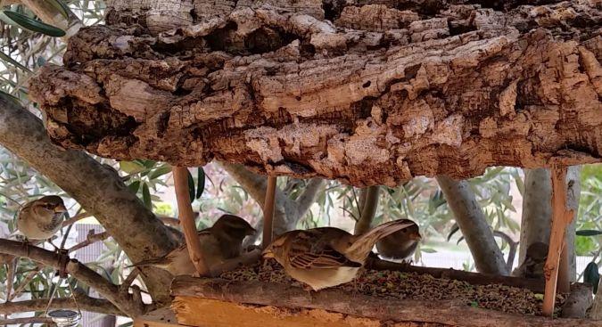 Pardal comú  - Carles Pineda