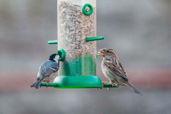 House Sparrow  - Andreu Iglesias