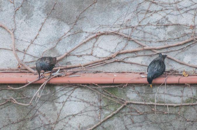 Spotless / Common Starling  - Andreu Iglesias