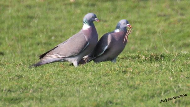 Pigeon ramier  - Jean Marie Deschamps