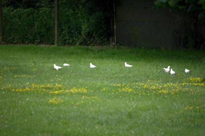 Pigeon biset domestique  - Daniel Schlauder