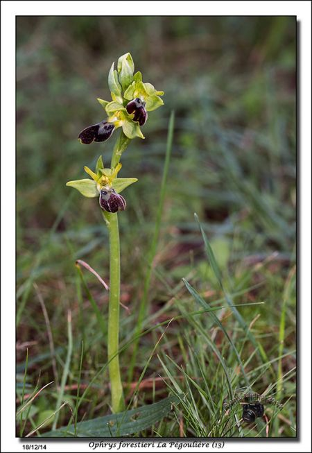 Ophrys lupercalis  - Michel Pinaud
