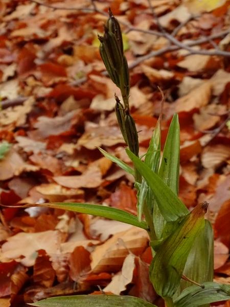 Cephalanthera longifolia  - Françoise Peyrissat(SFOAu)