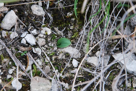 Ophrys speculum  - Jean-Marie Nadeau