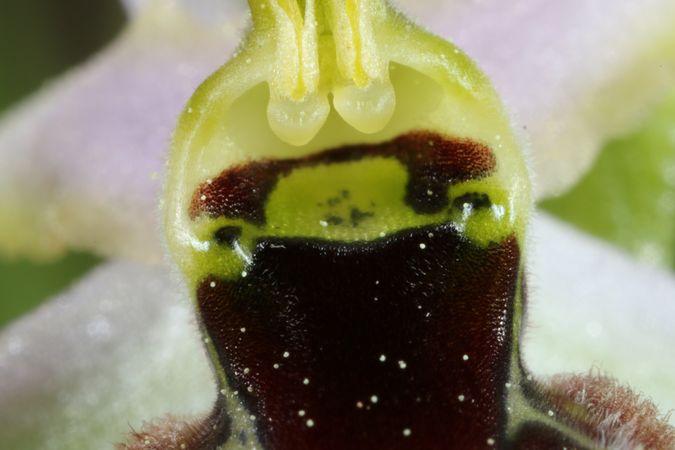 Ophrys splendida  - Christian Fleury