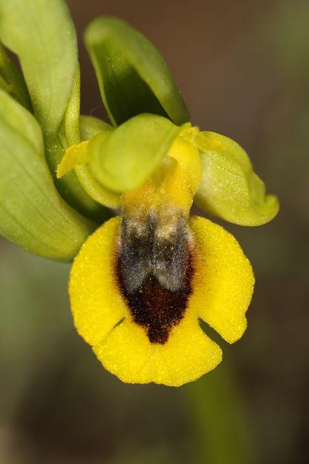 Ophrys lutea  - Christian Fleury