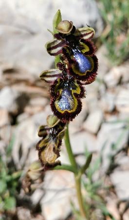Ophrys speculum  - Alain Bultez