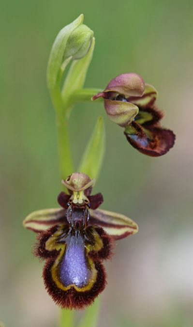Ophrys speculum  - Francis Dabonneville (SFOL)