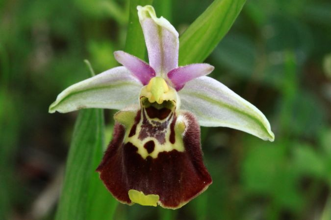 Ophrys druentica  - Frédéric Charmoille