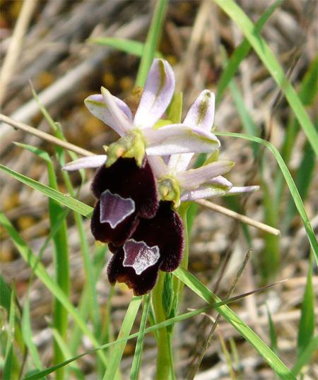 Ophrys aurelia  - Patrick Höhener