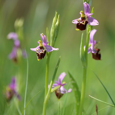 Ophrys druentica  - Jean-Philippe Anglade (SFOL)